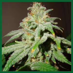 Buddha Haze Auto Feminised Seeds