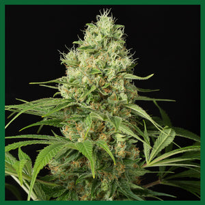CBD Shark Feminised Seeds - 5