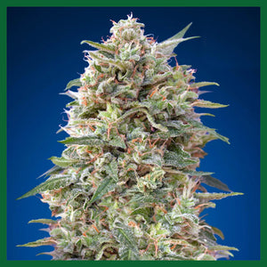 California Kush Feminised Seeds
