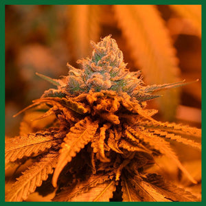 Candyland Feminised Seeds - 5