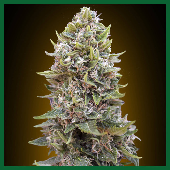 Cheese Berry Auto Feminised Seeds