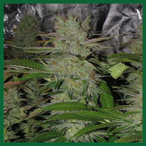 Chem Beyond Diesel CBD Feminised Seeds