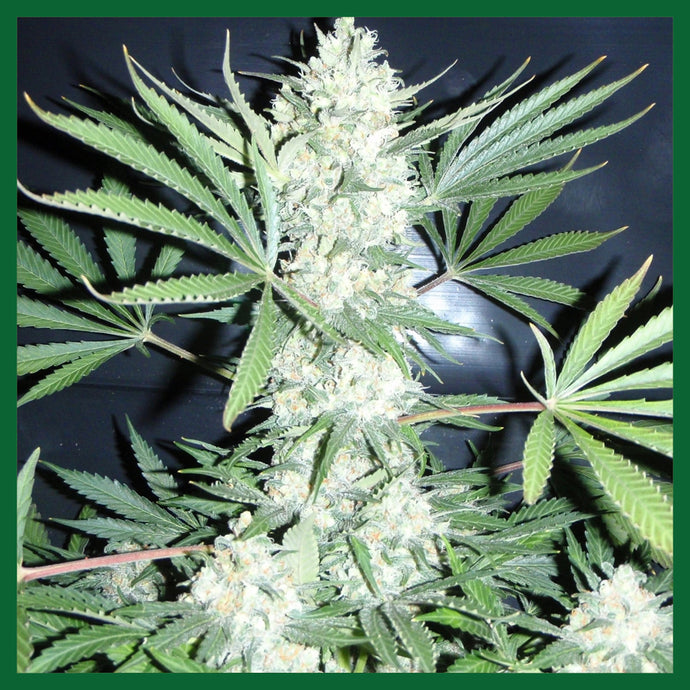 Chiesel Auto Feminised Seeds
