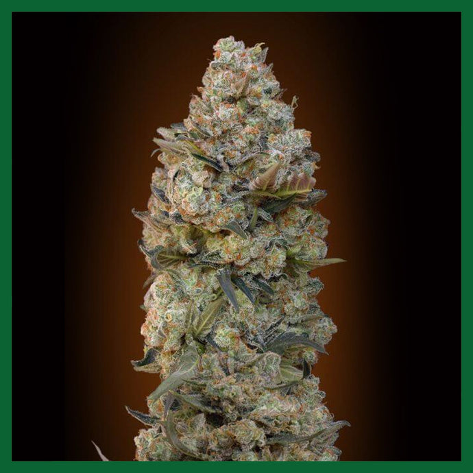 Chocolate Skunk Auto Feminised Seeds