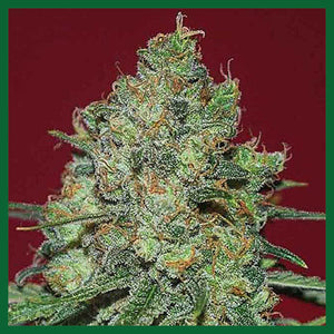 Clinical White CBD Feminised Seeds