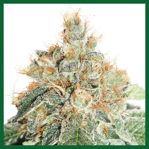 Colorado Cookies Auto Feminised Seeds