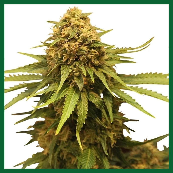 Critical Feminised Seeds