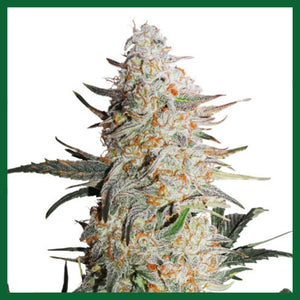 Critical Orange Punch Auto Feminised Seeds