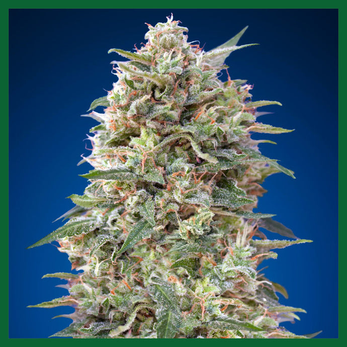 Critical Poison Feminised Seeds