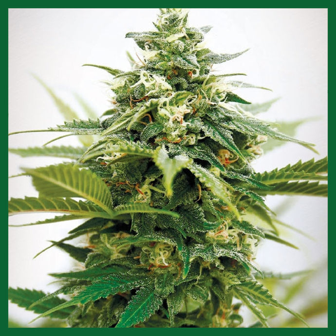 Critical XXL Feminised Seeds