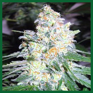 Diesel Berry Cough Feminised Seeds