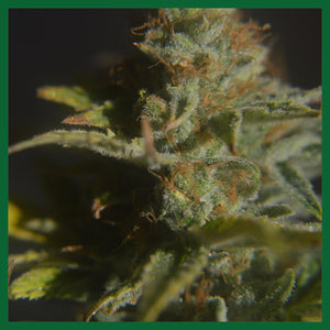Divine CBD Regular Seeds - 5