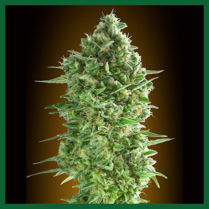 Do-Si-Dos Cookies Feminised Seeds