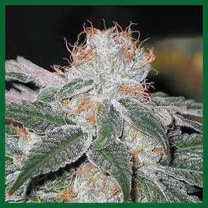 Dubble Bubble Feminised Seeds