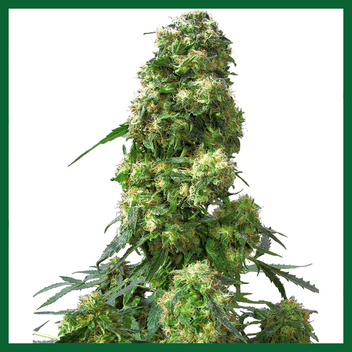 Early Skunk Feminised Seeds
