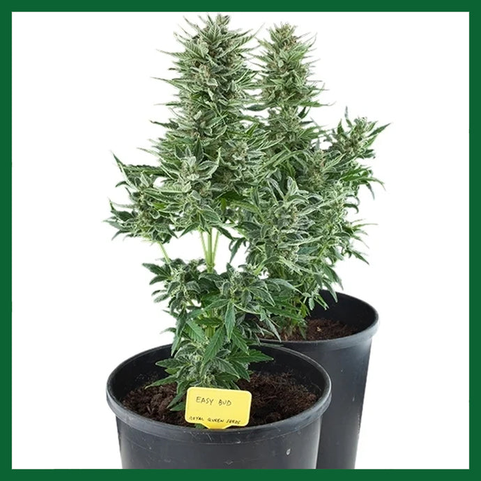 Easy Bud Auto Feminised Seeds