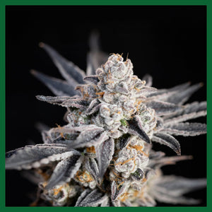 Expert Gorilla Feminised Seeds
