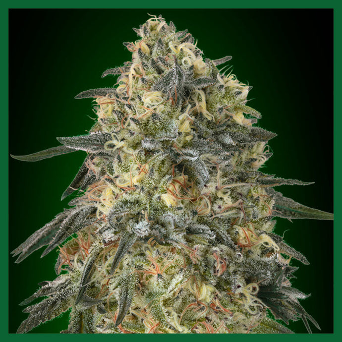 Gorilla Feminised Seeds
