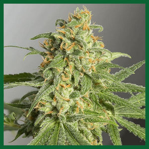 Green Crack Feminised Seeds