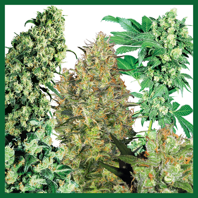 Collection #1 AUTOMATIC Feminised Seeds