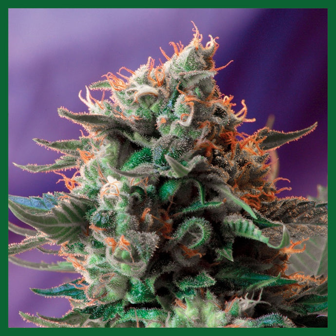 Jack 47 FAST Version Feminised Seeds