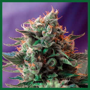 Jack 47 Feminised Seeds