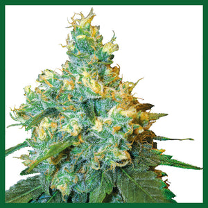 Jack Herer Regular Seeds