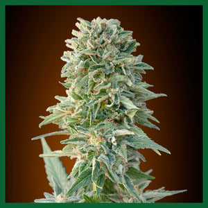 Jack Plant Feminised Seeds