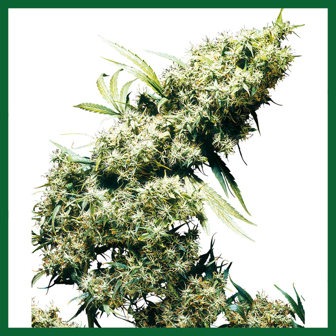 Jamaican Pearl Regular Seeds