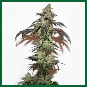 Kerosene Krash Feminised Seeds
