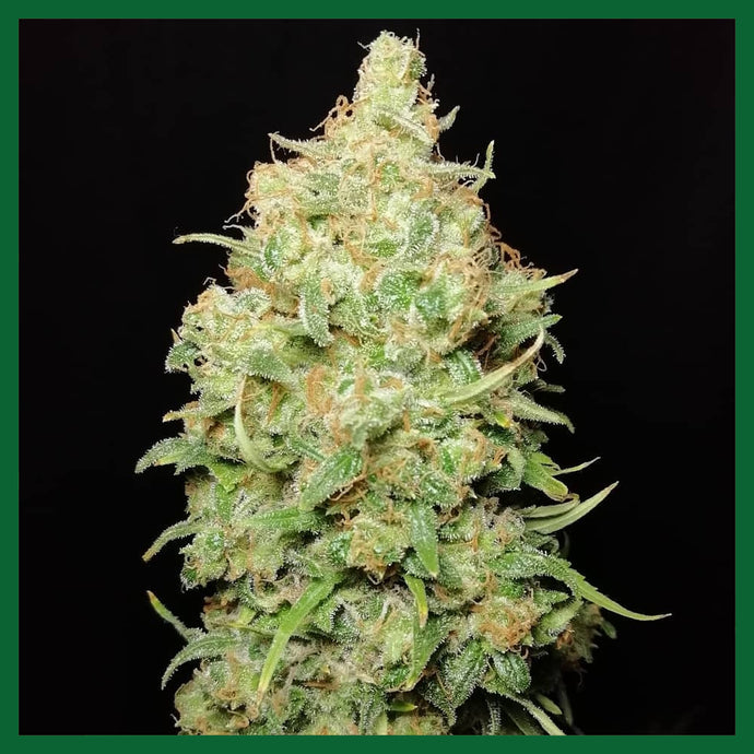 Legends Gold Feminised Seeds