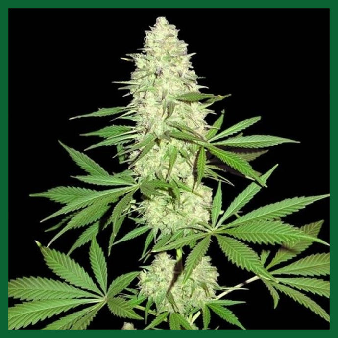 Maya Gold Feminised Seeds - 3