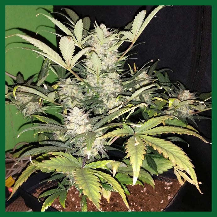 Mohan Ram Feminised Seeds