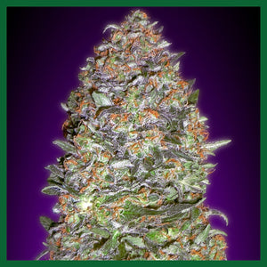 NYC Diesel Auto Feminised Seeds