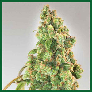 Nurse Lilly CBD Feminised Seeds