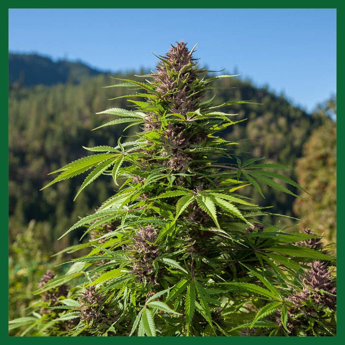 Outdoor Auto Feminised Seeds
