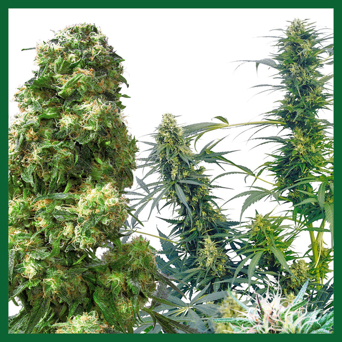 Outdoor Mix Regular Seeds