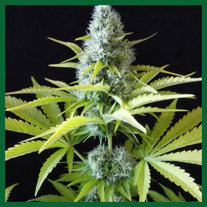 Outlaw Amnesia Feminised Seeds