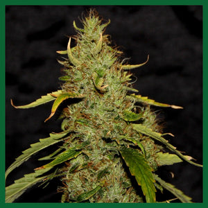 PH CBD Regular Seeds - 5