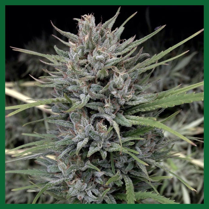 Passion #1 Feminised Seeds