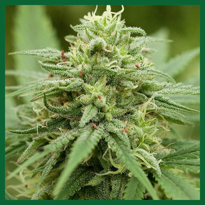 Pineapple Express #2 Feminised Seeds - 5