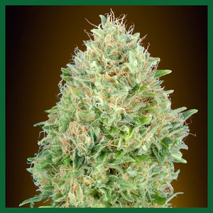 Pineapple Glue Auto Feminised Seeds