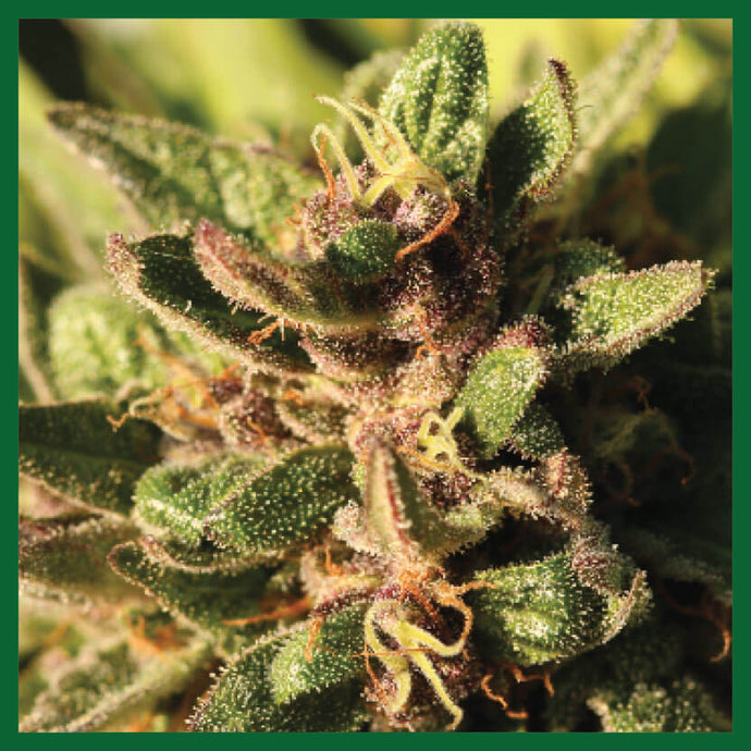 Pineapple Muffin Feminised Seeds - 10