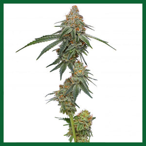 Pineapple Upside Down Cake Feminised Seeds - 10