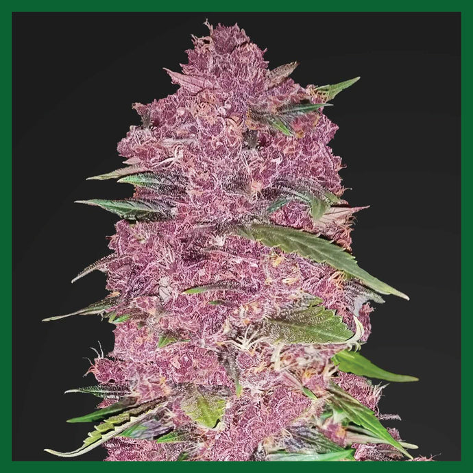 Purple Lemonade Auto Feminised Seeds