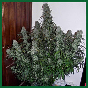 Quick Flowering THC Feminised Seeds