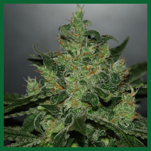 Royal Jack Auto Feminised Seeds