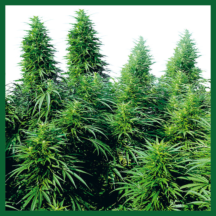 Ruderalis Skunk Regular Seeds