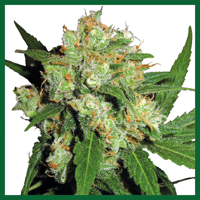Sensi Skunk Regular Seeds - 10