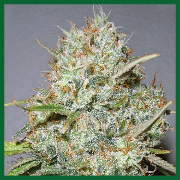 Shark Widow CBD Feminised Seeds